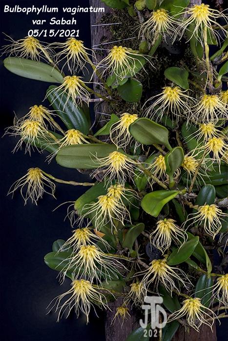Name:  Bulbophyllum vaginatum var Sabah3 05152021.jpg Views: 50 Size:  228.7 KB