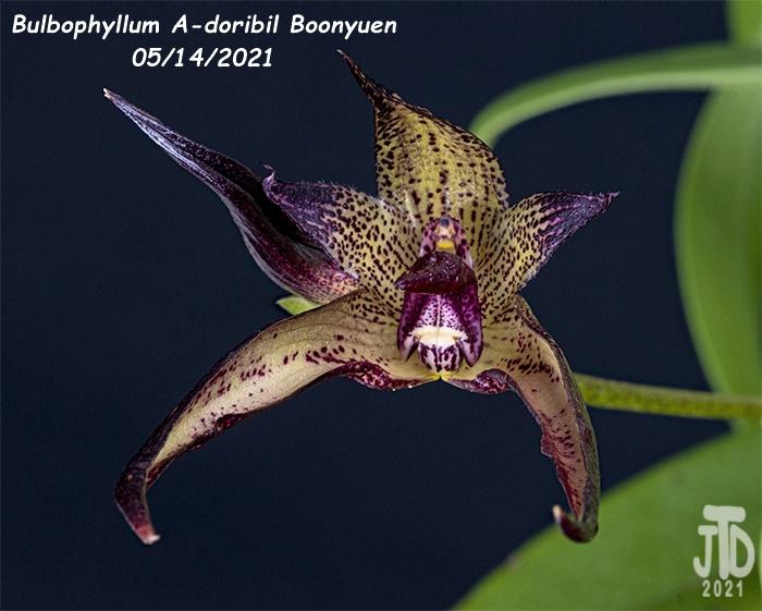 Name:  Bulbophyllum A-doribil Boonyuen5 05142021.jpg Views: 43 Size:  144.5 KB