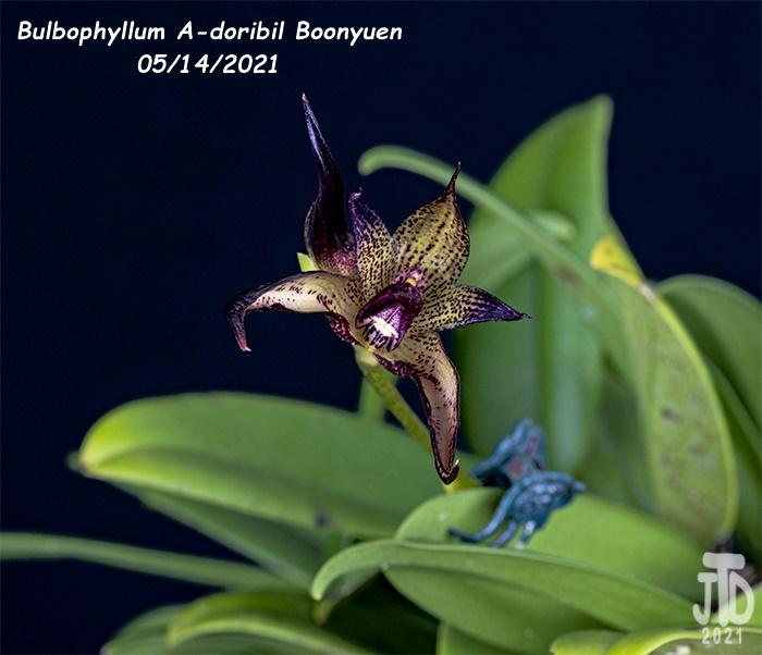 Name:  Bulbophyllum A-doribil Boonyuen3 05142021.jpg Views: 41 Size:  112.1 KB