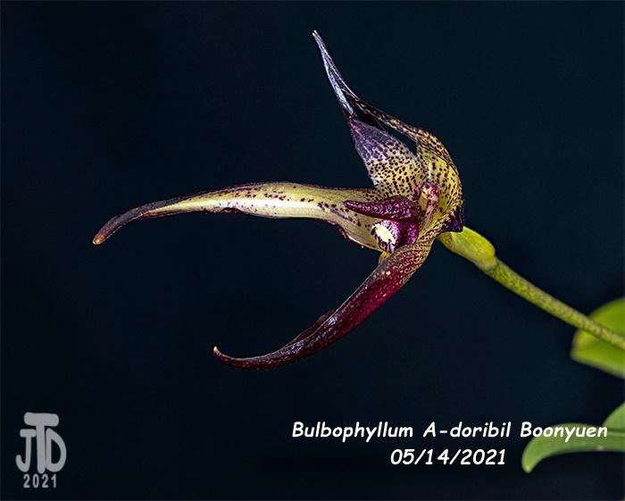 Name:  Bulbophyllum A-doribil Boonyuen2 05142021.jpg Views: 40 Size:  115.1 KB
