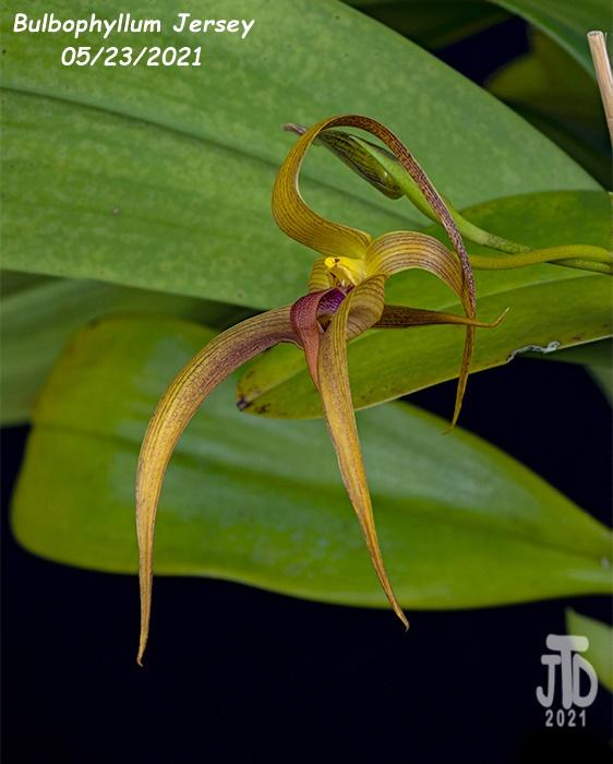 Name:  Bulbophyllum Jersey4 05232021.jpg Views: 38 Size:  111.3 KB