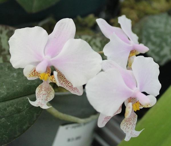 Name:  Phalaenopsis_Wiganiae_crop6x6.jpg Views: 80 Size:  72.9 KB