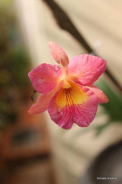 Name:  Guaritonia Henry Wan2.JPG Views: 319 Size:  126.7 KB