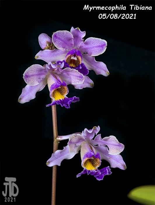 Name:  Myrmechophila Tibiana3 05072021.jpg Views: 60 Size:  95.7 KB