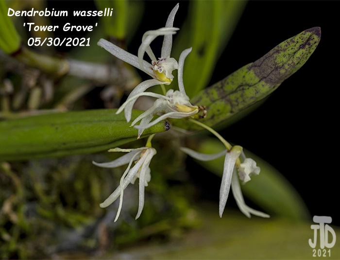 Name:  Dendrobium wassellii 'Tower Grove'2 05302021.jpg Views: 71 Size:  105.4 KB