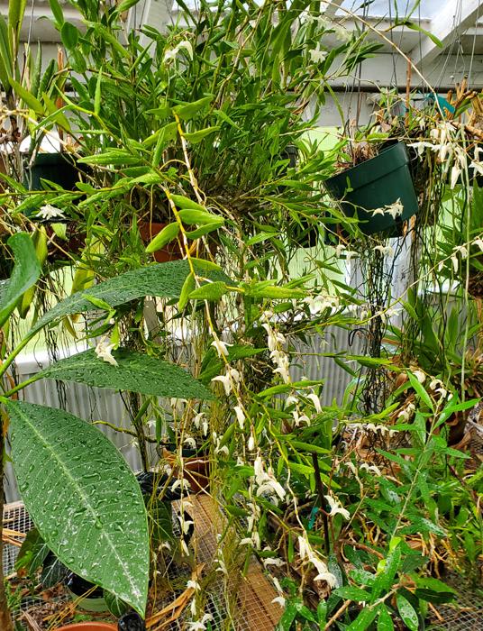 Name:  Dendrobium crumenatum1.jpg Views: 63 Size:  652.0 KB