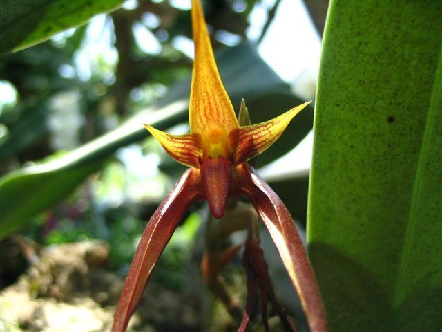 Name:  Bulbophyllum Nymphopolitanum (Small).jpg Views: 3590 Size:  45.1 KB