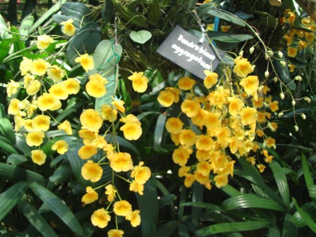 Name:  Dendrobium Agrregatum1 (Small).jpg Views: 3369 Size:  72.2 KB