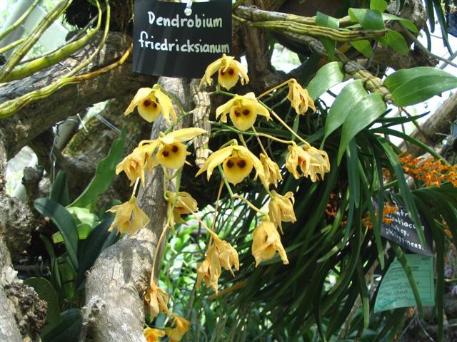 Name:  Dendrobium Friedricksianum1 (Small).jpg Views: 3382 Size:  84.9 KB