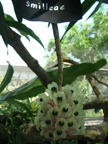 Name:  Dendrobium Smilleae1 (Small).jpg Views: 2944 Size:  36.9 KB