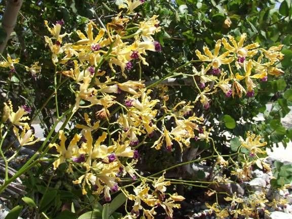 Name:  OrchidMay82008.jpg Views: 1419 Size:  82.9 KB