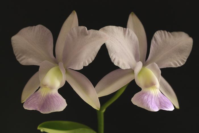 Name:  Cattleya walkeriana coerulea.jpg Views: 146 Size:  215.4 KB