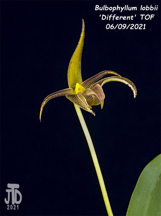Name:  Bulbophyllum lobbii 'Different' TOF3 06092021.jpg Views: 36 Size:  105.2 KB