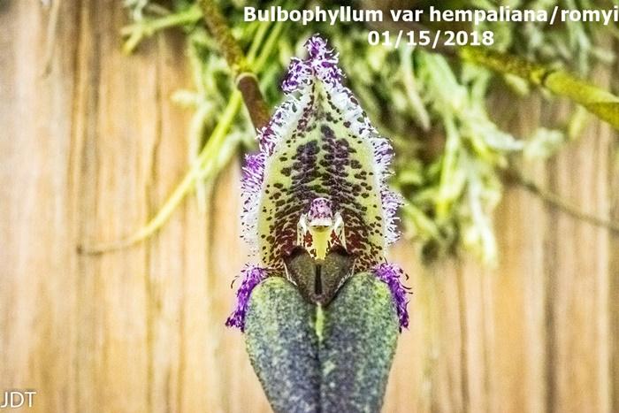 Name:  Bulbophyllum fascinator var hempaliana1 100mm 011518.jpg Views: 325 Size:  161.2 KB