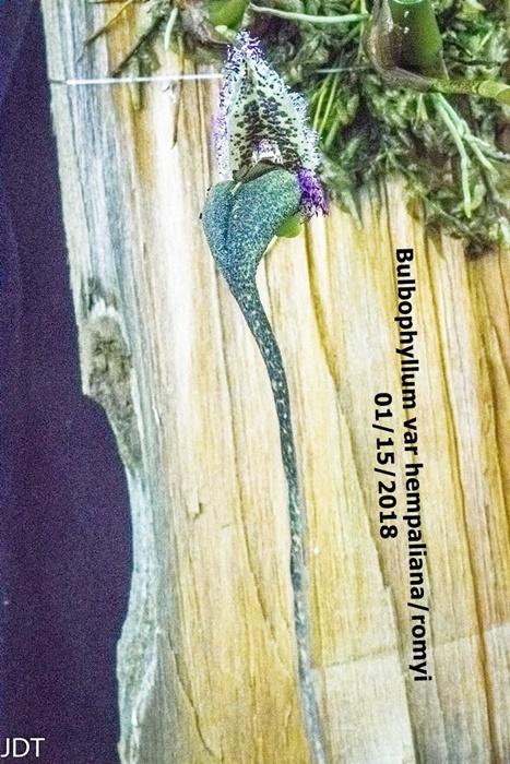 Name:  Bulbophyllum fascinator var hempaliana2 100mm 011518.jpg Views: 200 Size:  191.9 KB