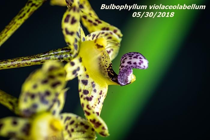 Name:  Bulbophyllum violaceolabellum4 60mm 053018.jpg Views: 270 Size:  209.5 KB