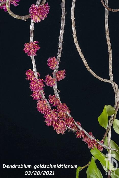 Name:  Dendrobium goldschmidtianum2 03282021.jpg Views: 79 Size:  132.6 KB