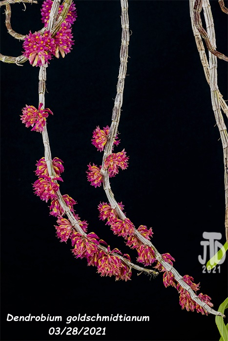 Name:  Dendrobium goldschmidtianum4 03282021.jpg Views: 78 Size:  129.0 KB