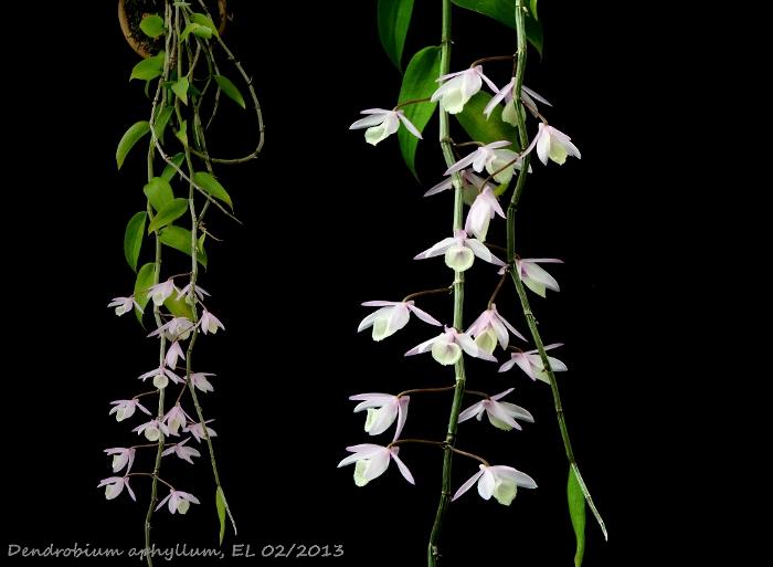 Name:  Dendro aphyllum 02_2013 1.JPG Views: 616 Size:  124.2 KB