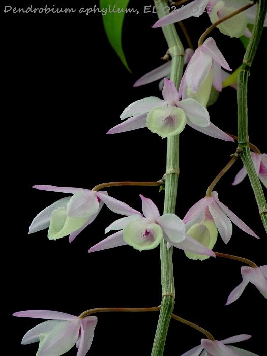 Name:  Dendro aphyllum 02_2013 2.JPG Views: 301 Size:  128.9 KB