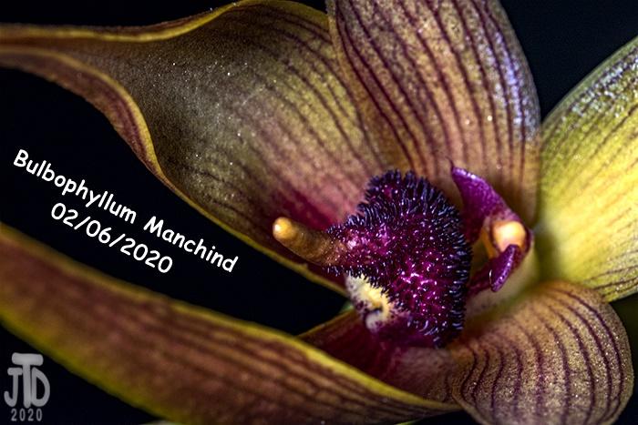 Name:  Bulbophyllum Manchind2 02062020.jpg Views: 58 Size:  151.9 KB