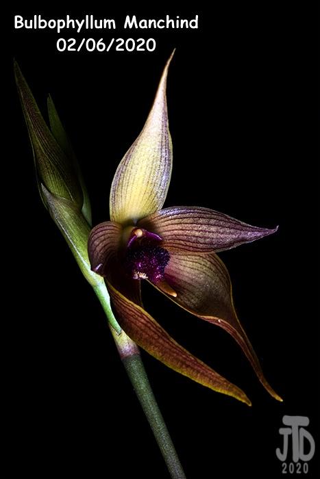 Name:  Bulbophyllum Manchind3 02062020.jpg Views: 62 Size:  80.4 KB