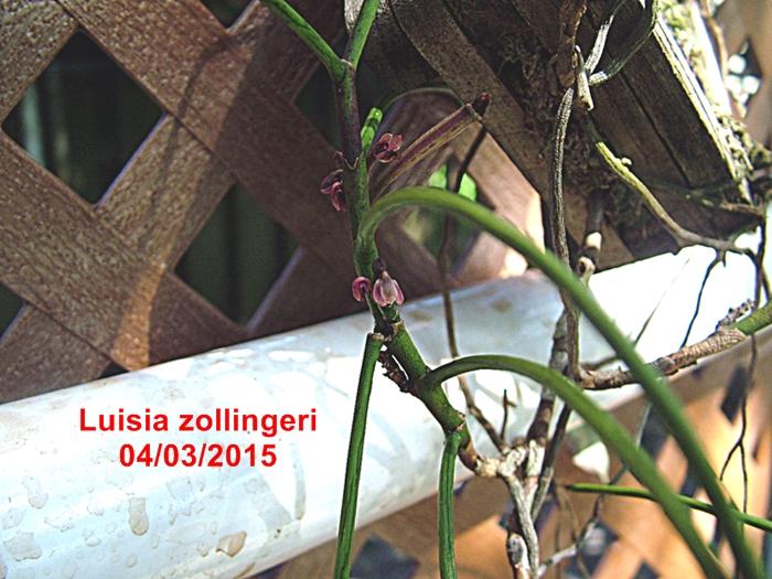 Name:  Luisia zollingeri.JPG Views: 426 Size:  336.2 KB