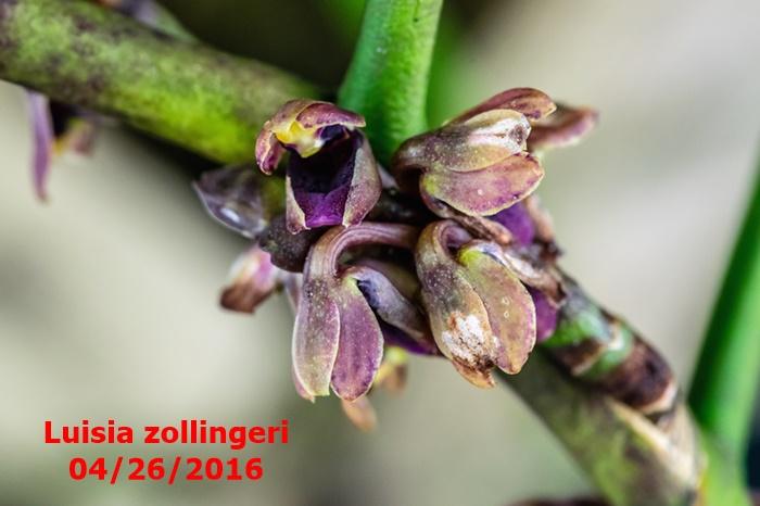 Name:  Luisia zollingeri macro100mm.jpg Views: 298 Size:  99.6 KB