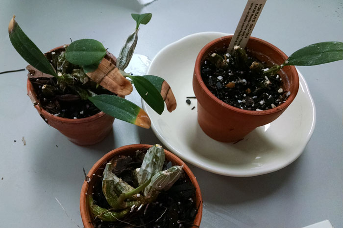 Name:  Den lindleyii - repotted.jpg Views: 93 Size:  88.7 KB