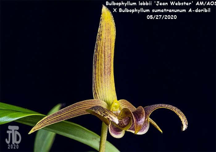 Name:  Bulbophyllum lobbii 'Jean Webster' AMAOS X Bulb. sumatranunum A-doribil3 05282020.jpg Views: 58 Size:  93.0 KB
