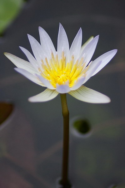 Name:  small_water_lily.jpg