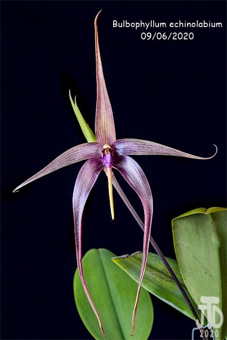 Name:  Bulbophyllum echinolabium3 09062020.jpg Views: 30 Size:  90.6 KB