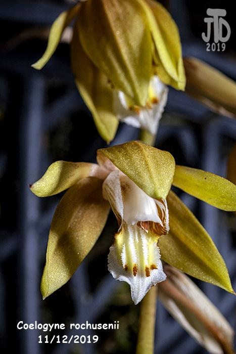 Name:  Coelogyne rochusenii2 1122019.jpg Views: 104 Size:  129.2 KB