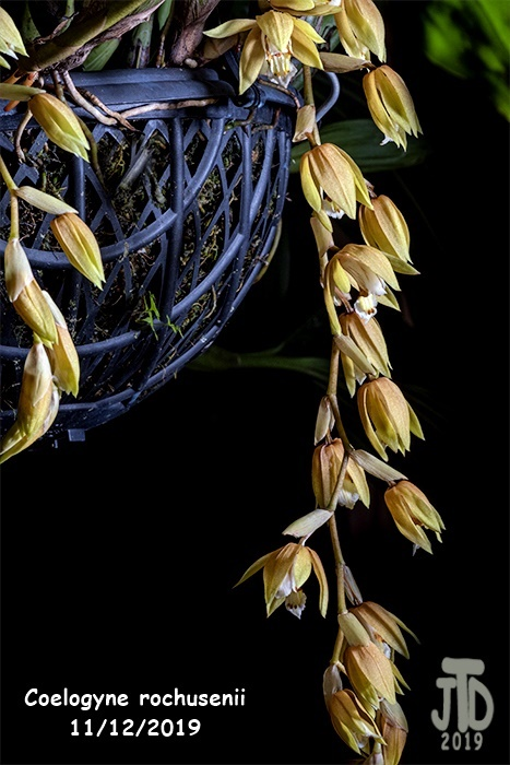Name:  Coelogyne rochusenii3 1122019.jpg Views: 89 Size:  165.8 KB