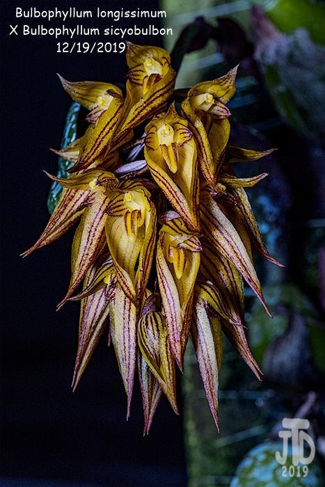 Name:  Bulbophyllum longissimum X Bulb. sicyobulbon1 12192019.jpg Views: 76 Size:  178.1 KB