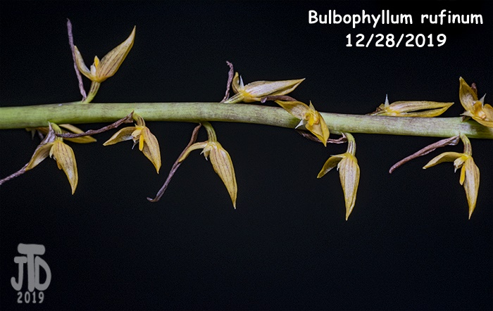 Name:  Bulbophyllum rufinum2 12282019.jpg