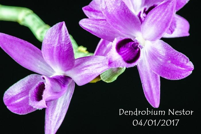 Name:  Dendrobium Nestor 300mm.jpg Views: 277 Size:  259.2 KB
