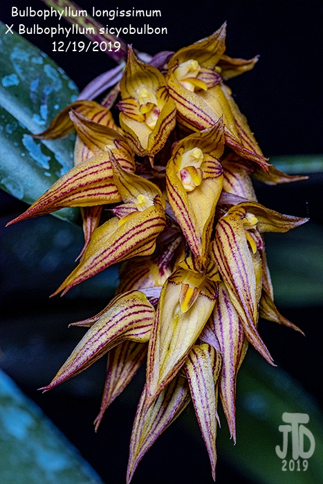 Name:  Bulbophyllum longissimum X Bulb. sicyobulbon2 12192019.jpg Views: 88 Size:  184.6 KB