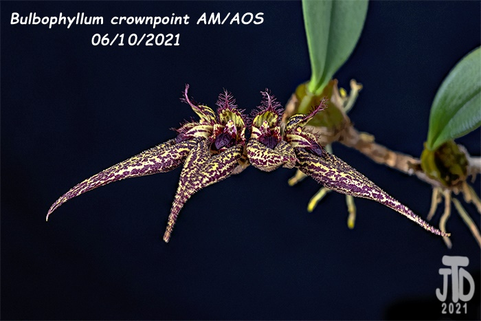 Name:  Bulbophyllum crownpoint AMAOS3 06102021.jpg Views: 34 Size:  114.6 KB