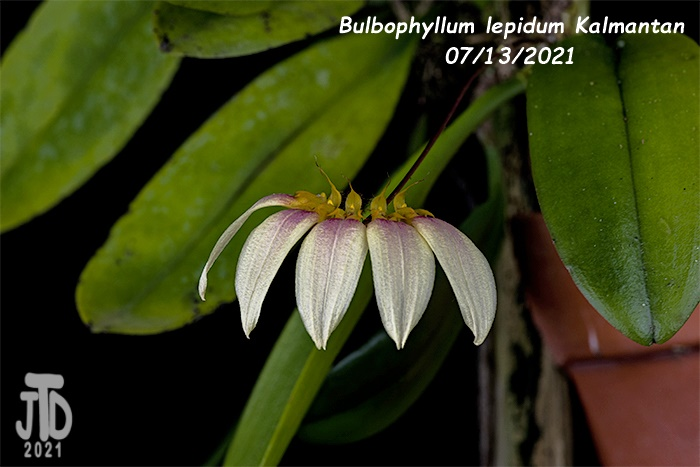 Name:  Bulbophyllum lepidum Kalimantan3 08122021.jpg Views: 32 Size:  114.6 KB