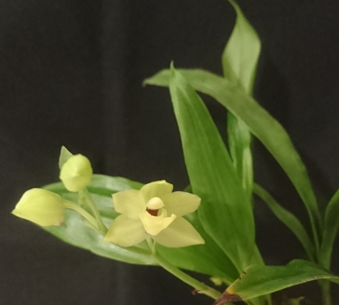 Name:  Promadisanthus Hibeki 1.jpg
