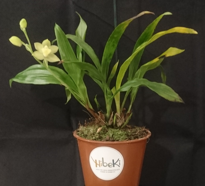 Name:  Promadisanthus Hibeki 4.jpg