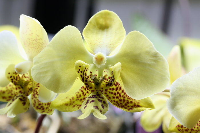 Name:  Phal stuartiana nobilis.jpg Views: 112 Size:  62.6 KB