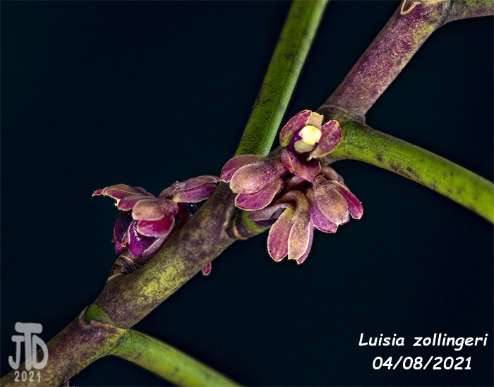 Name:  Luisia zollingeri4 04082021.jpg