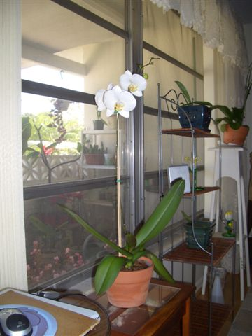 Name:  WhitePhalMoonOrchid 001.jpg Views: 296 Size:  39.5 KB
