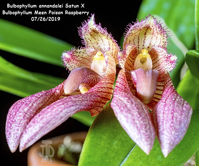 Name:  Bulbophyllum annandalei Satun X Bulbo. Meen Poison Raspberry4 07262019.jpg Views: 67 Size:  197.6 KB