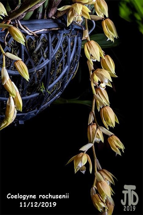 Name:  Coelogyne rochusenii3 1122019.jpg Views: 91 Size:  165.8 KB