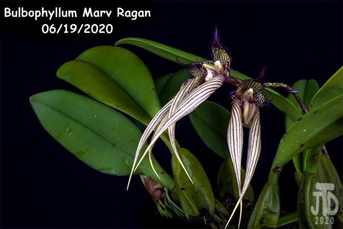 Name:  Bulbophyllum Marv Ragan3 06182020.jpg Views: 46 Size:  134.9 KB