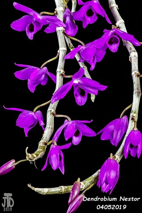 Name:  Dendrobium Nestor1 04042019.jpg Views: 102 Size:  254.7 KB