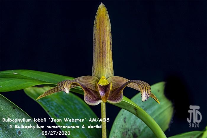 Name:  Bulbophyllum lobbii 'Jean Webster' AMAOS X Bulb. sumatranunum A-doribil4 05282020.jpg Views: 77 Size:  118.8 KB
